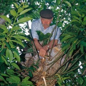 Indalecio Rodríguez Ares (Vilariño de Conso, Ourense) escollendo as pólas de castiñeiro adecuadas para fabricar unha gaita de castiñeiro. Fotografía do autor.