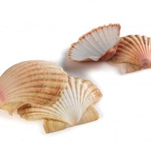 Cunchas de vieira (Pecten maximus).  Fotografías Alba Vázquez Carpentier.